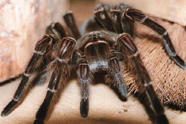 araignée flippante